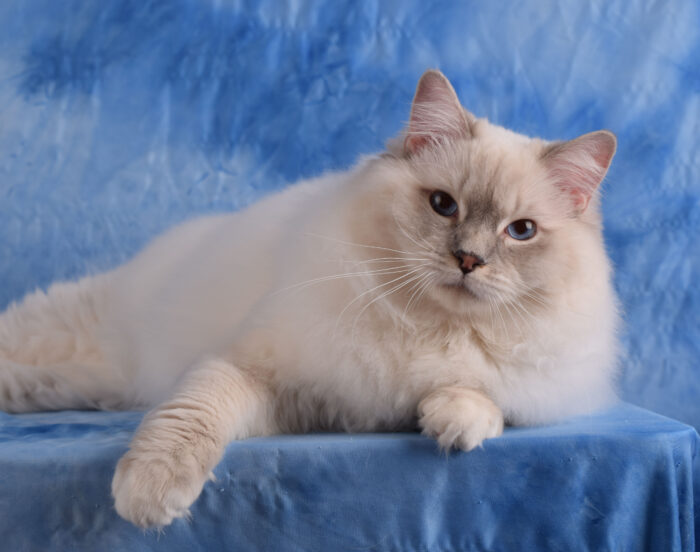 Blue Lynx Point Mitted Male Ragdoll