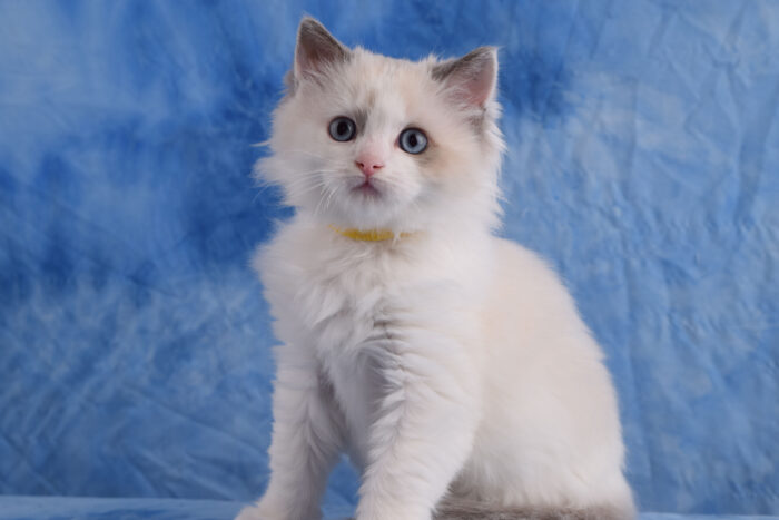Blue Point Bicolor male Ragdoll