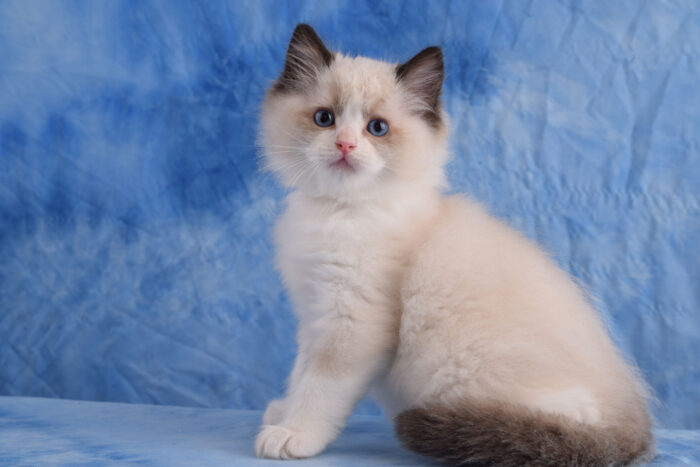Seal Point Bicolor male Ragdoll